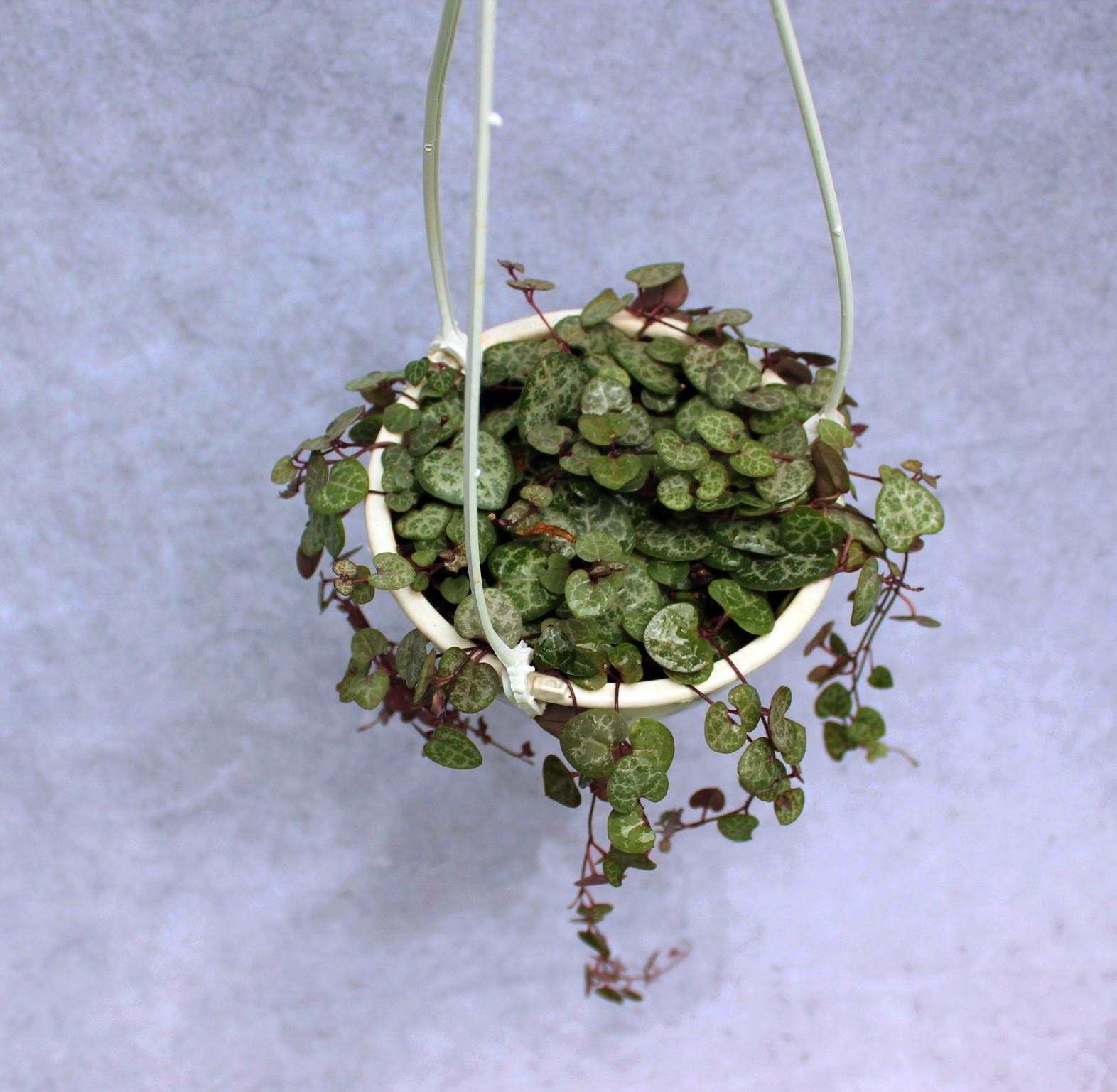 Corações Emaranhados - Cuia 13 (Ceropedia woodii)