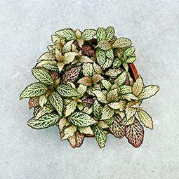 Fitonia Variada - Cuía 13 (Fittonia verschaffeltii)