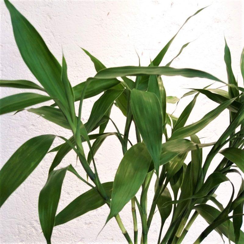 Dracena Verde / Bambu da Sorte - maço com 10 hastes