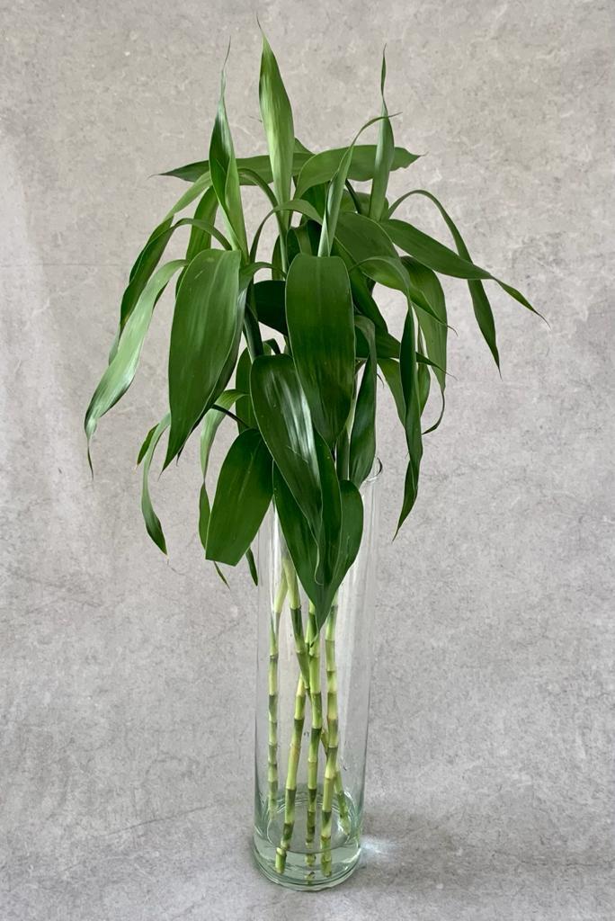 Dracena Verde/Bambu da Sorte - Maço com  6 hastes (Dracena sanderiana)