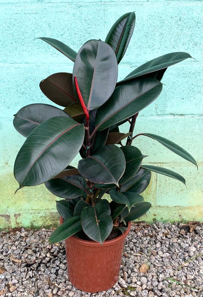 Ficus Elástica Rubro - Pote 24 (Ficus elastica)