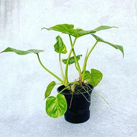 Filodendro Ondulatum - Pote 14 (Philodendron undulatum)
