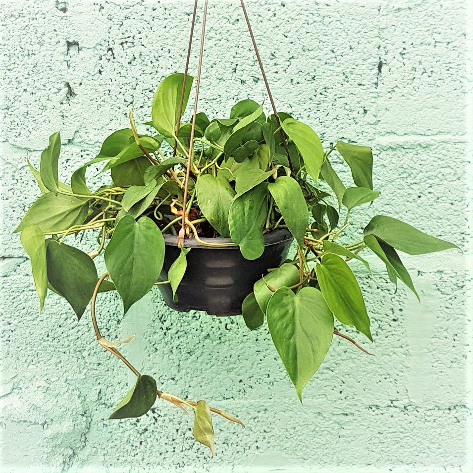 Filodendro Pendente Verde - Cuia 21 (Philodendron scandens)