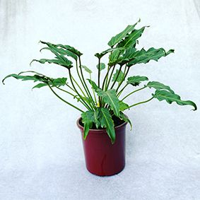 Filodendro Xanadú - Pote 23 (Philodendron xanadu)