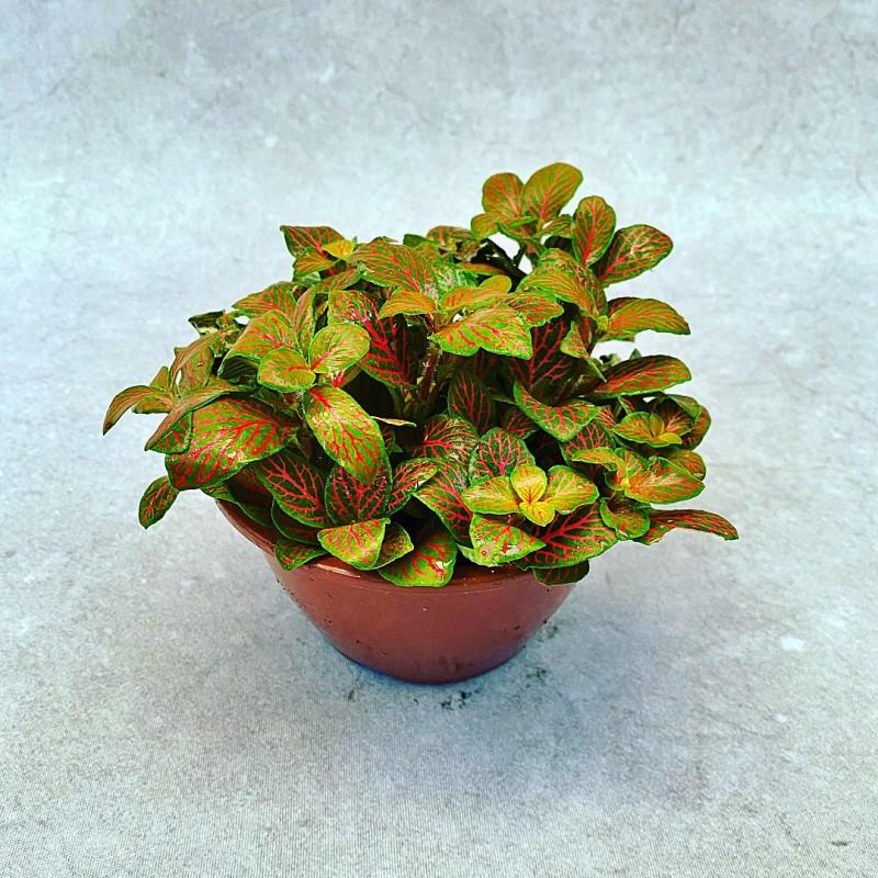 Fitonia Variada - Cuia 13 (Fittonia verschaffeltii)