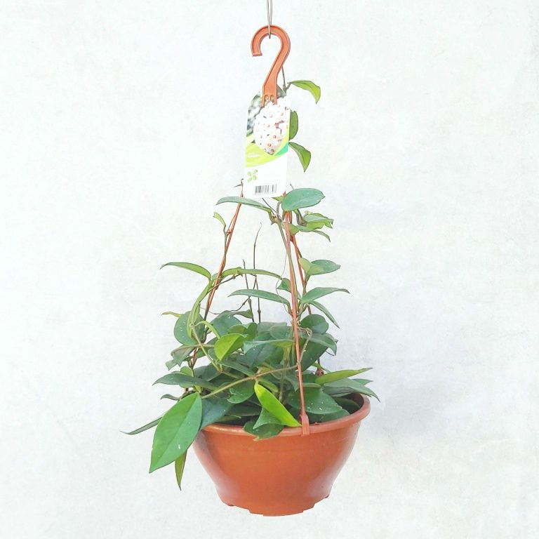 Hoya Carnosa  - Cuia 21 (Hoya carnosa)