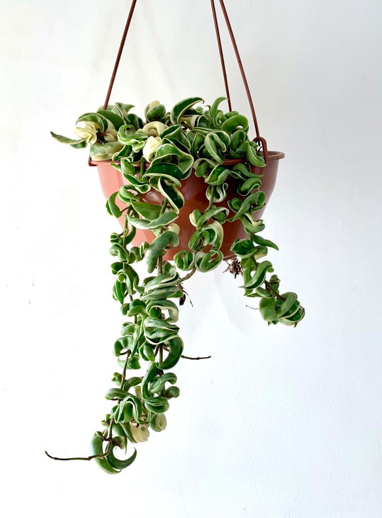 Hoya Compacta Variegata - Cuia 21 (Hoya carnosa 'compacta regalis')