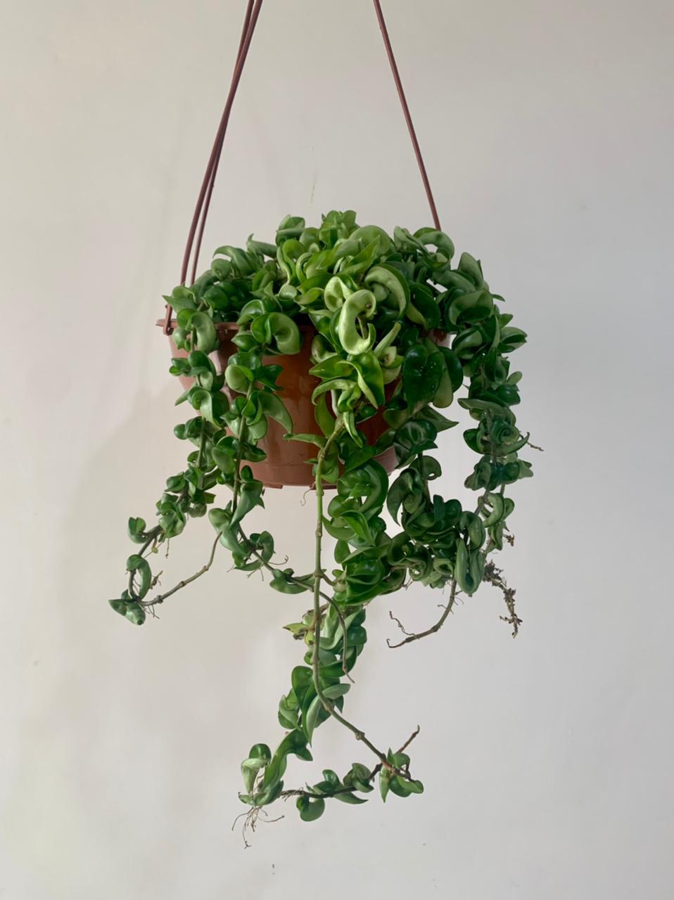 Hoya Compacta Verde - Cuia 21 (Hoya carnosa 'compacta')