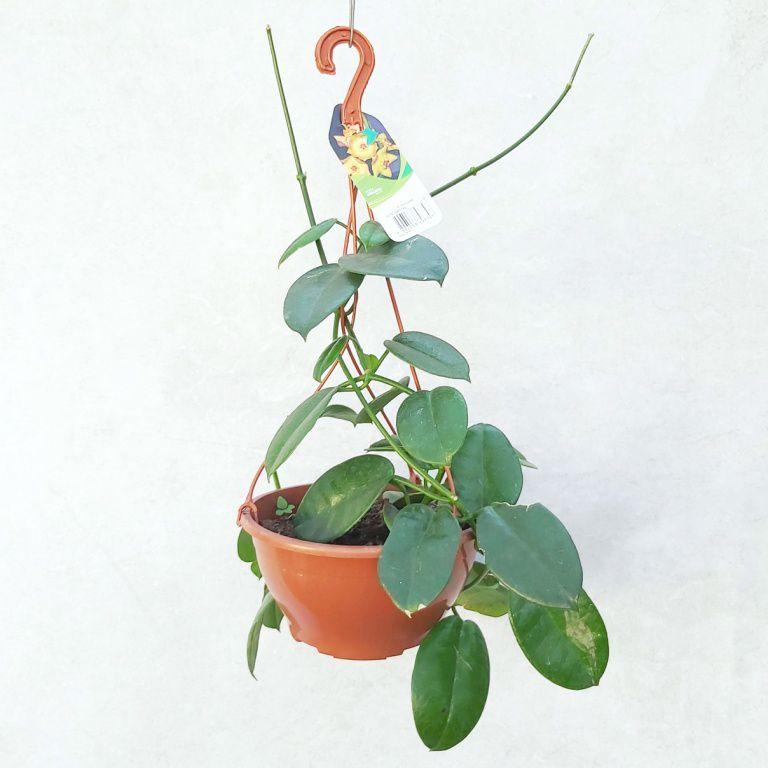 Hoya Gigante - Cuia 21 (Hoya ruthie)