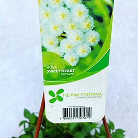 Hoya Sweet Heart - Cuía 21 (Hoya krohniana)