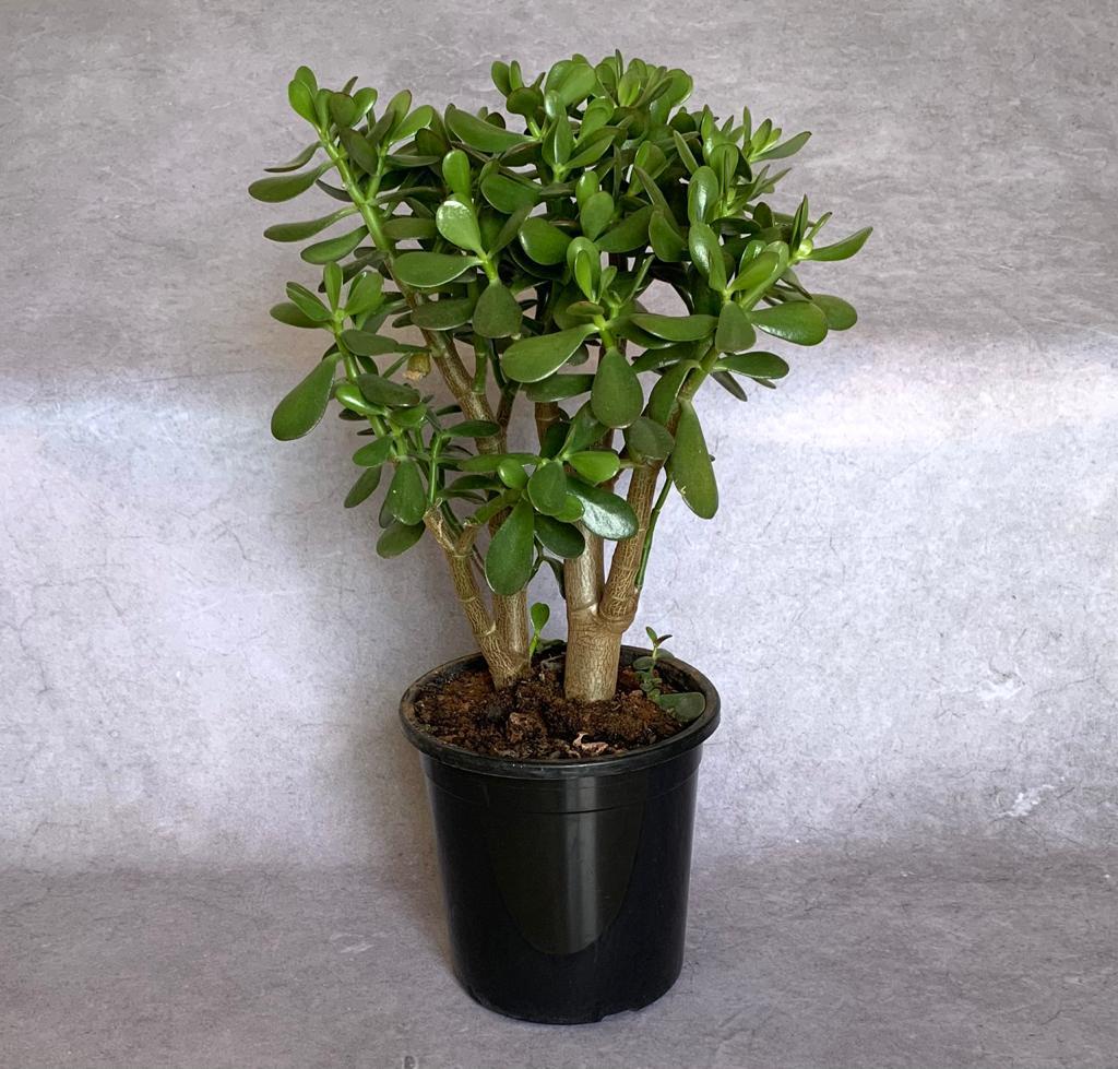 Jade M  (Crassula ovata)