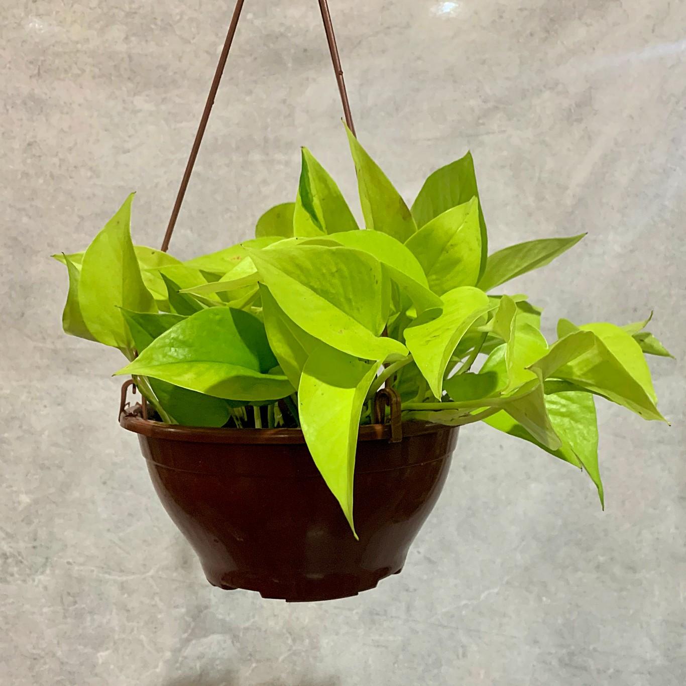 Jibóia Limão - Cuia 21 (Scindapsus aureus)