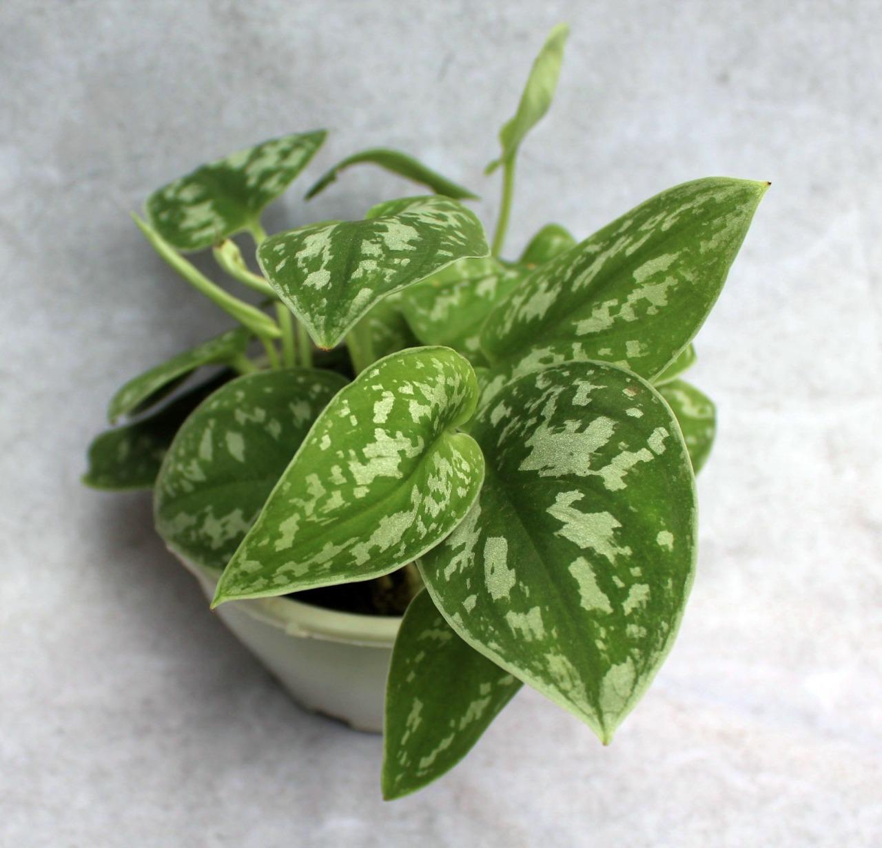 Jibóia Prateada - Cuia 13 (Scindapsus pictus 'Argyraeus')