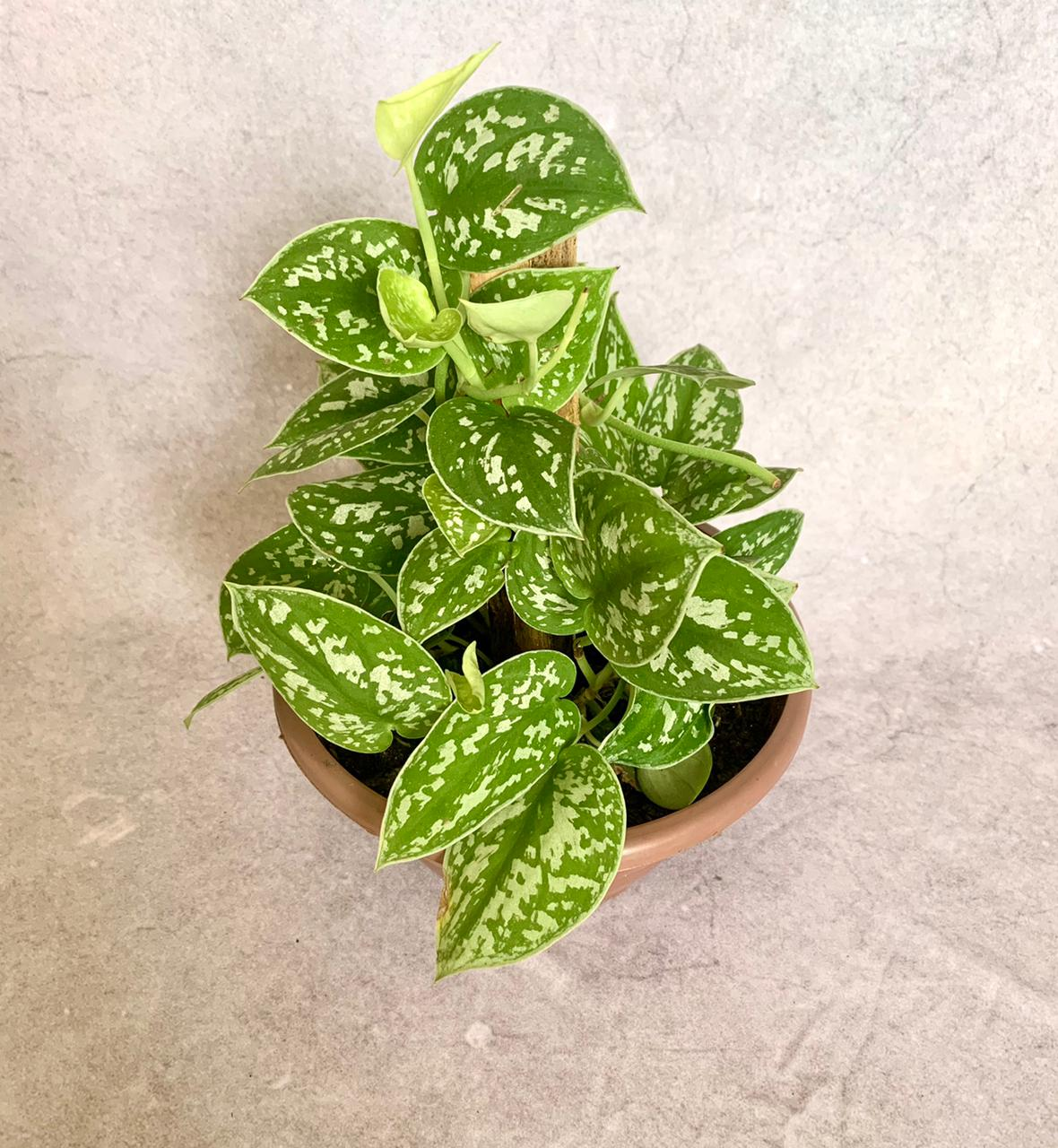 Jibóia Prateada - Cuia 21 (Scindapsus pictus 'Argyraeus')