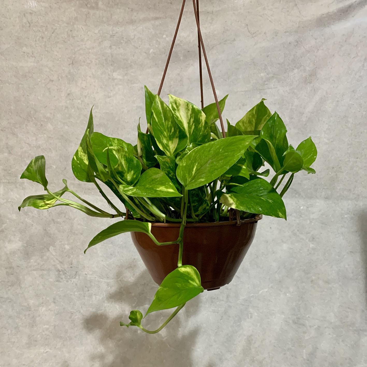 Jibóia Verde - Cuia 21 (Epipremnum aureum)