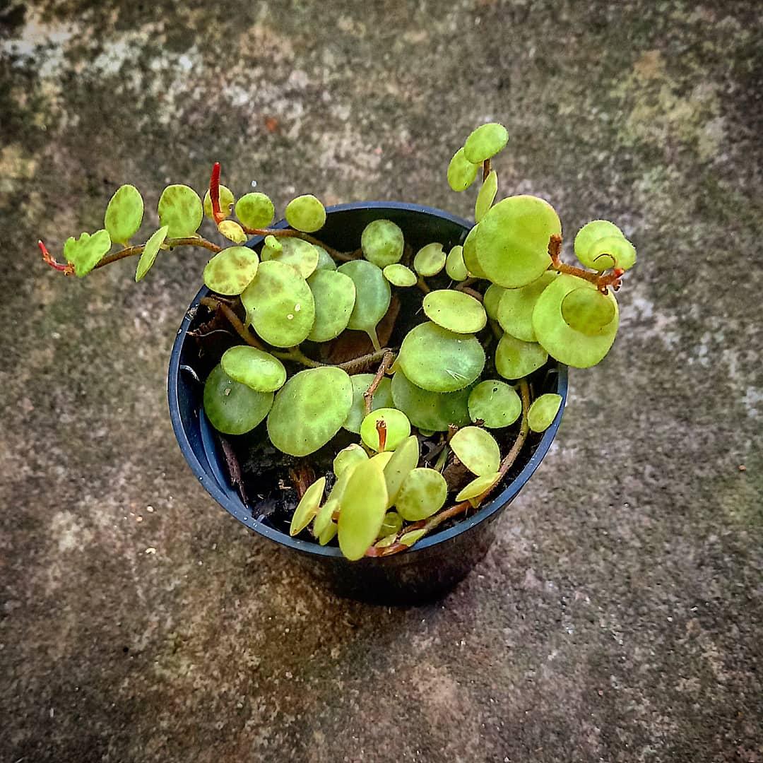 Peperômia Colar de Tartaruga - Pote 6 (Peperomia prostrata)