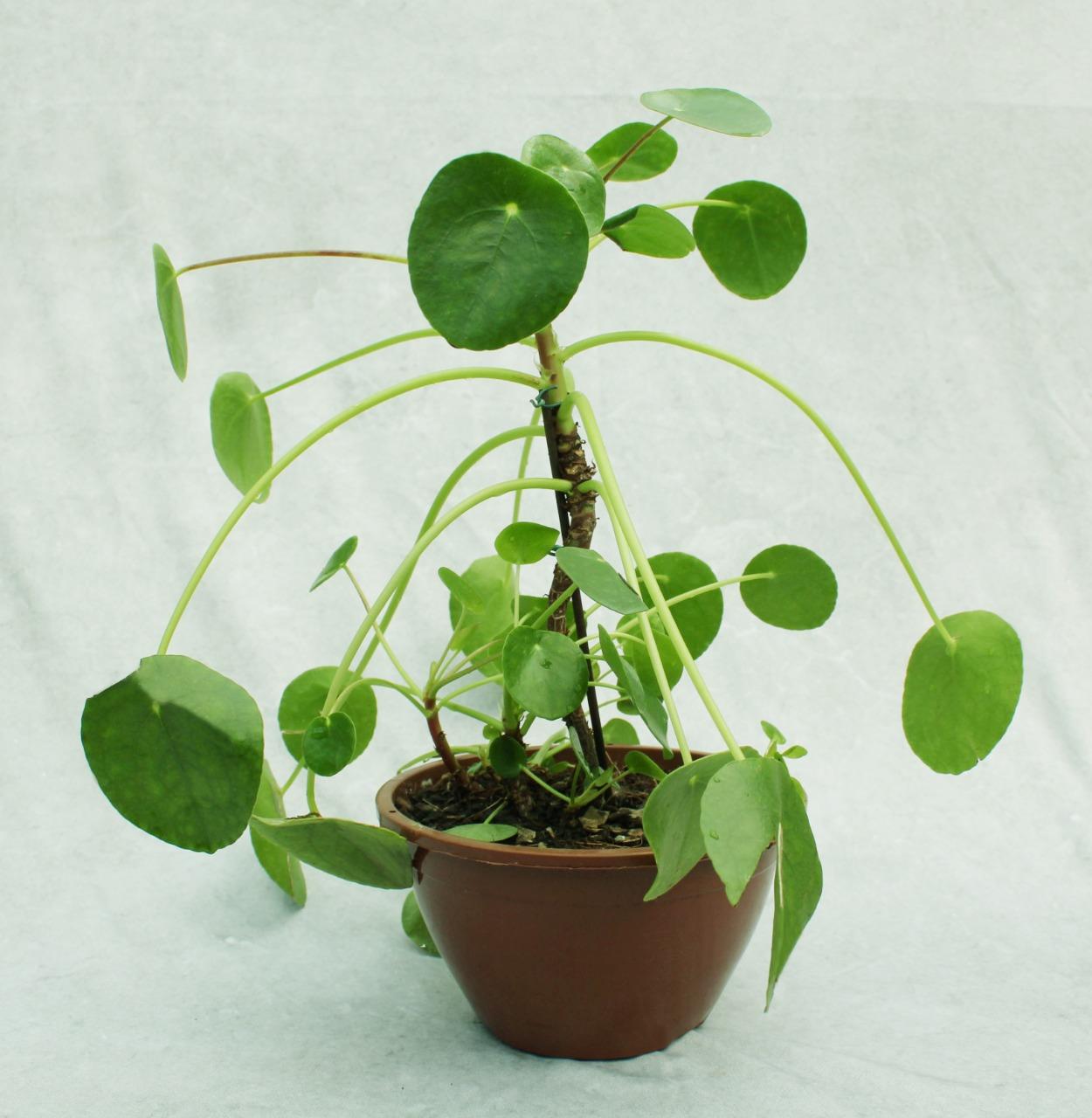 Planta da amizade - Cuia 18 (Pilea peperomioides)