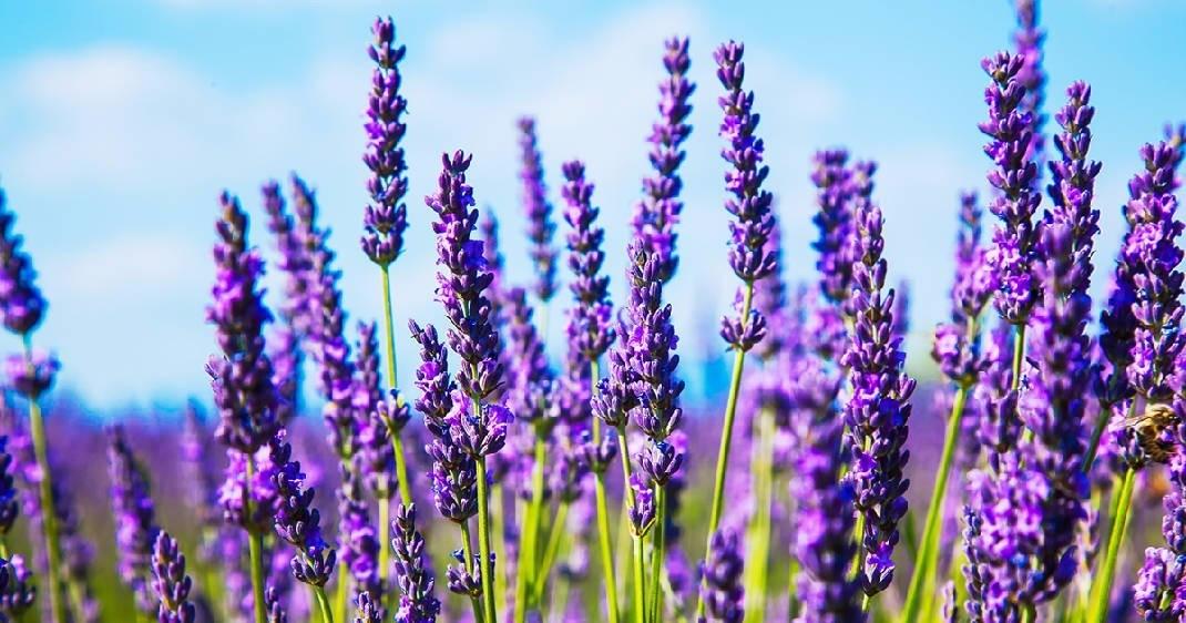 Desodorante Roll-on Natural Lavanda & Verbena| Herbia - 50ml