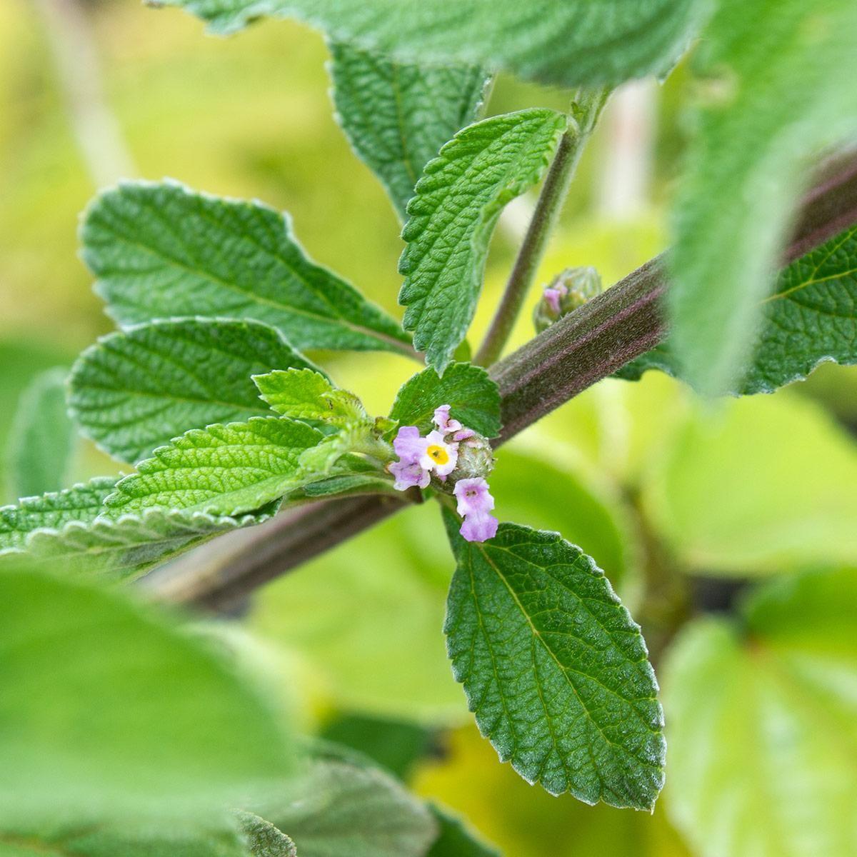 Emulsão Hidratante Natural Lippia Alba | Herbia - 200ml