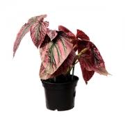 Begonia Breviminosa PT 15