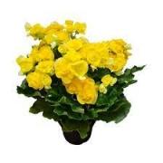 Begonia Elatior PT 11 Amarela