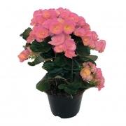 Begonia Elatior PT 11 Rosa