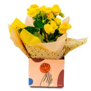 Begonia Flor Amarela