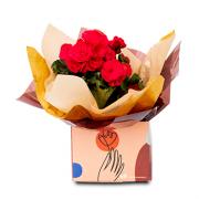 Begonia Flor Rosa