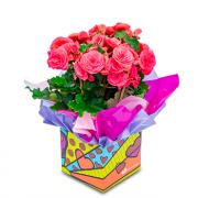 Begonia Florida Rosa