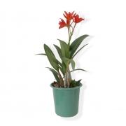 Orquídea Laelia PT 13