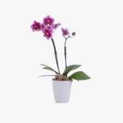 Orquidea Phalaenopsis PT 06