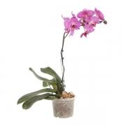 Orquidea Phalaenopsis PT 12