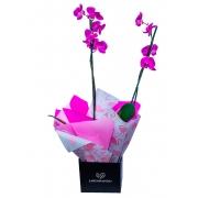 Orquídea Phalaenopsis Roxa Com Embalagem na Cor Preta