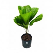Palmeira Leque 80 CM