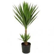 Yucca 1 M