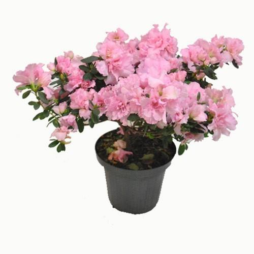 Azaleia Rosa PT 15