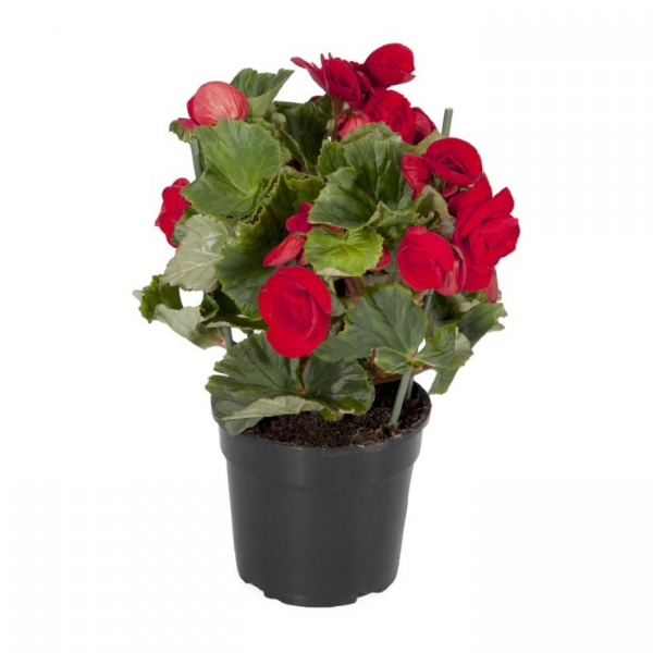 Begonia Elatior PT 11 Vermelha
