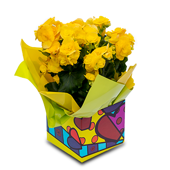 Begonia Florida Amarela
