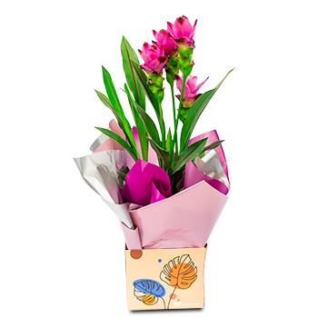 Curcuma Flor Lilás
