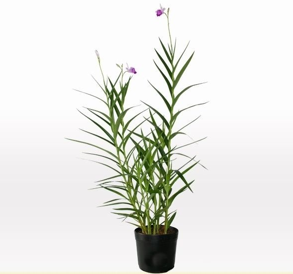 Orquidea Bambu 30 CM