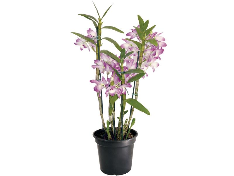 Orquidea Dendrobium PT 08
