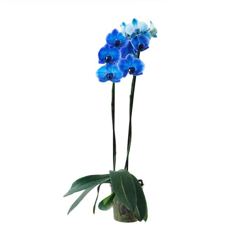 Orquídea Phalaenopsis PT 12 Azul