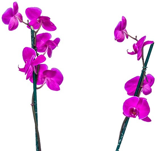 Orquídea Phalaenopsis Roxa Com Embalagem na Cor Rosa