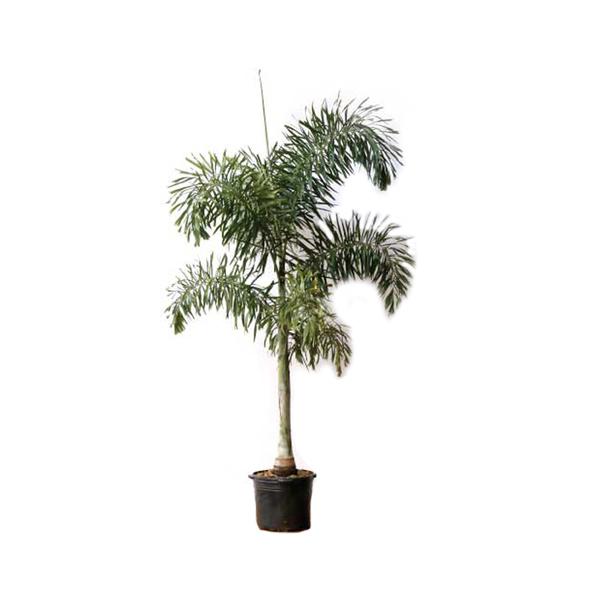 Palmeira Rabo de Raposa 4 M