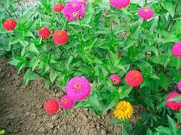 Zinia Lilliput Pom Pom Dob. Sortida 290Mg - Flor