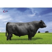 CONNEALY FORTUNE - Aberdeen Angus