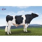 CORTEX - Holstein-Frisian