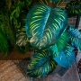 Calathea Verde Permanente 1,7m
