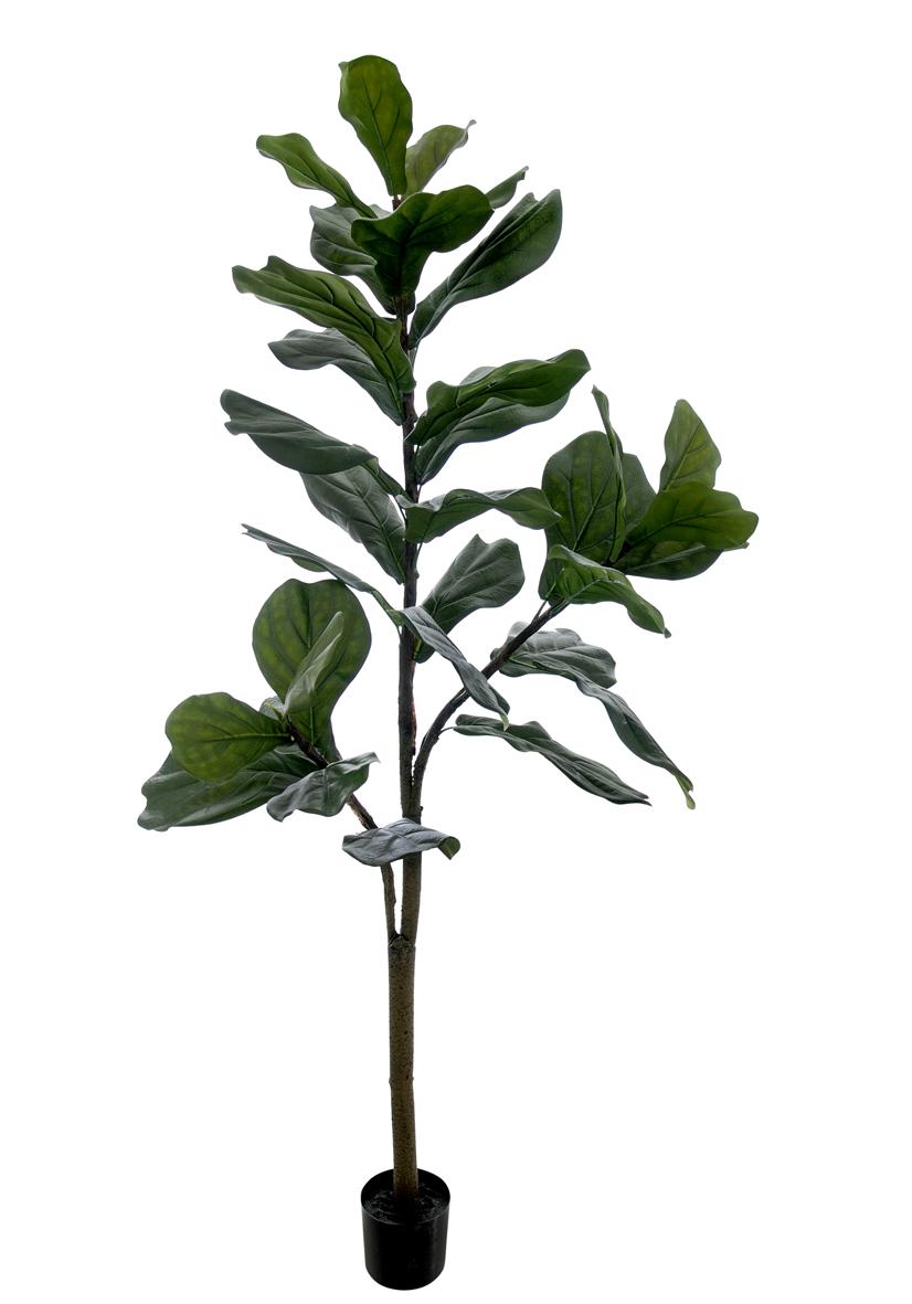 Ficus Lyrata Verde Permanente c/Pote 1,5m