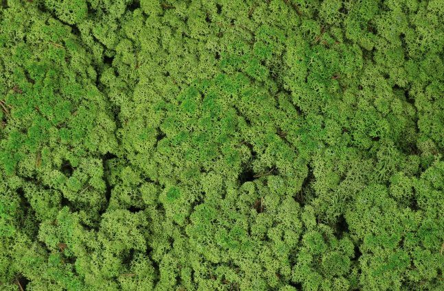 Musgo De Rena Verde Fundo 425G